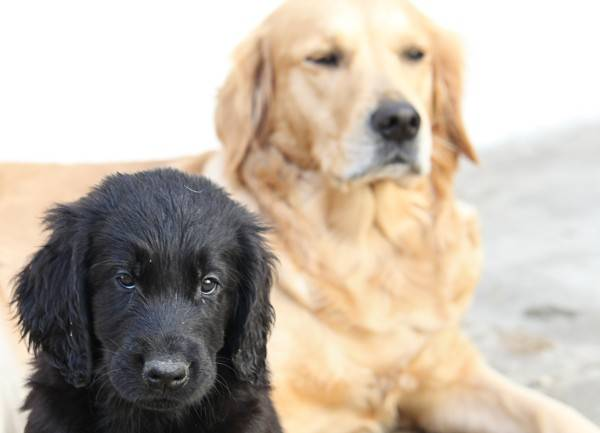 Goldies & Flat-Coated-Retriever
